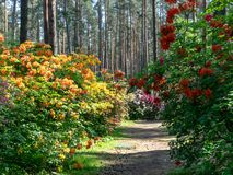rhododendron flowers in beatiful forest stock image