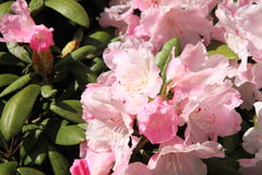 Rhododendron Stock Image