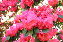 Rhododendron Royalty Free Stock Photo