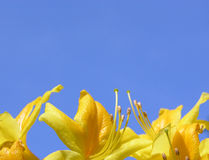 Rhododendron flowers and blue sky. Yellow Rhododendron flowers and blue sky Stock Photos