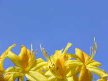 Rhododendron flowers and blue sky. Yellow Rhododendron flowers and blue sky Royalty Free Stock Photography