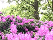 Nature and flowers in the city park. Rhododendron-flowers bush in the city park under summer Stock Photos