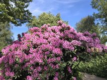 Nature and flowers in the city park. Rhododendron-flowers bush in the city park under summer Stock Images