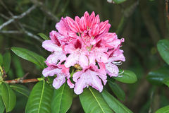 Rhododendron flowers Stock Photos