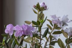 Rhododendron flowers close-up. On light background. stock image