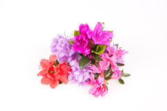 Rhododendron flowers composition. On a white background Royalty Free Stock Photos