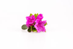 Rhododendron flowers composition. On a white background Stock Image