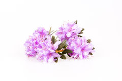Rhododendron flowers composition. On a white background Royalty Free Stock Photography