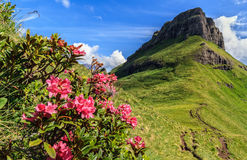 Rhododendron flowers in Dolomites Stock Images