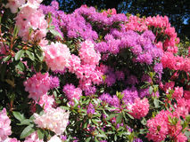 Rhododendron flowers in full bloom. Rhododendron flowers on a variety of plants in full bloom in the midday sun on a clear day Royalty Free Stock Images