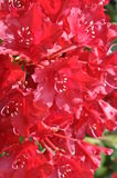 Rhododendron flowers in the garden Stock Photo