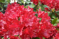 Rhododendron flowers in the garden Stock Image