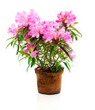 Rhododendron flowers. Isolated on white background Royalty Free Stock Image