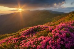 Rhododendron flowers in the mountains Stock Photography