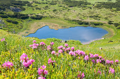 Rhododendron flowers near mountain lake Royalty Free Stock Photography
