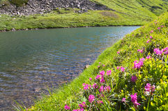 Rhododendron flowers near mountain lake Stock Image