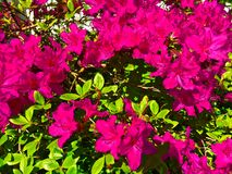 Rhododendron Flowers. Pink rhododendron flowers in the sun Royalty Free Stock Photo