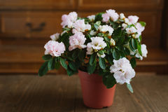 Rhododendron flowers in a pot Royalty Free Stock Image
