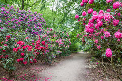 Rhododendron Flowers in a public park Royalty Free Stock Photos