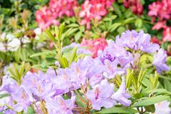 Rhododendron flowers Royalty Free Stock Photography