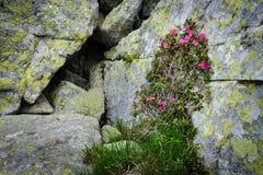 Rhododendron flowers of Retezat Mountains, Romania Royalty Free Stock Photos