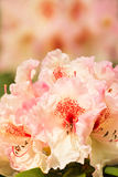 Rhododendron flowers in spring. Background Stock Image