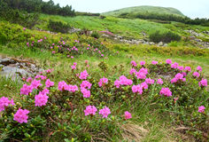 Rhododendron flowers in summer mountain Royalty Free Stock Images