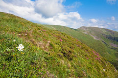 Rhododendron flowers in summer mountain Royalty Free Stock Photography