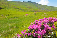 Rhododendron flowers in summer mountain Stock Images