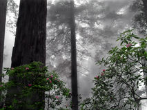 Rhododendron in the fog. Humboldt state park california rockefeller grove stock images