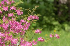 Rhododendron in the foreground Royalty Free Stock Images
