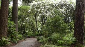 Rhododendron forest along path in botanical gardens. In spring stock footage