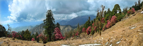 Rhododendron forest in mountain of Himalayas Royalty Free Stock Photo