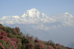 Rhododendron forest and mountains in Nepal Stock Photos