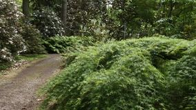 Rhododendron forest with path leading through it. Rhododendron forest with walking path leading through it stock video