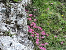 Rhododendron från Bucegi Royaltyfri Fotografi