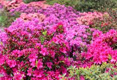 Rhododendron in full bloom with bright pink, coral and magenta flowers. Blooming azalea bushes with plenty of buds and flowers stock images