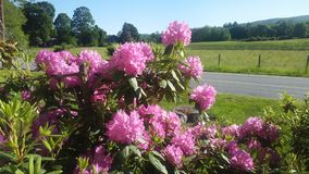 Rhododendron. Full bloom late bloomer Royalty Free Stock Image