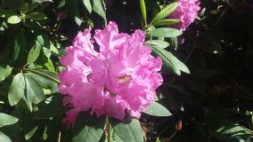 Rhododendron. Full bloom late bloomer Stock Image