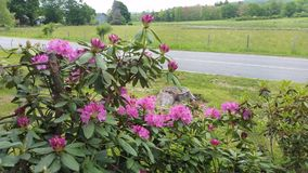 Rhododendron. Full bloom late bloomer Royalty Free Stock Photo