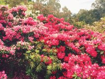 Rhododendron garden Royalty Free Stock Photography