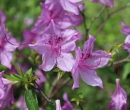 Rhododendron in a garden Royalty Free Stock Image