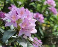 Rhododendron in a garden stock photos