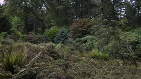 Rhododendron garden with evergreens in spring. Day stock video footage