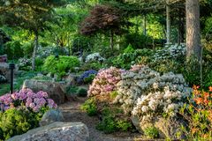 Rhododendron garden in Sweden in full bloom and evening sunlight