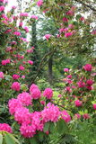 Rhododendron Garden. A view into a garden through the beautiful clusters of cerise flowers of a rhododendron shrub Stock Photography