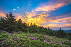 Rhododendron gardens, Roan Mountain, Tennessee. Sunrise over a sea of blooming Catawba Rhododendron at Tennessee's roan Mountain State Park Royalty Free Stock Photos