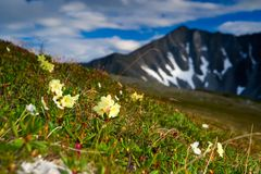 Rhododendron golden. Blooming rhododendron on a background of mountains Royalty Free Stock Photos