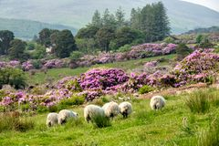 Rhododendron growing in the Vee valley in Ireland. stock photography