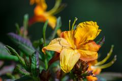 The rhododendron grows in the botanical garden. In full bloom one yellow-orange flower surrounded by green foliage, a bright, sunny spring day Royalty Free Stock Photography